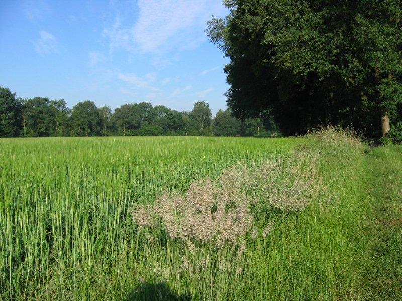 Achterhoekse natuur met graanvelden