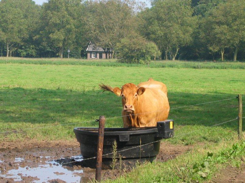 Achterhoekse natuur met koe