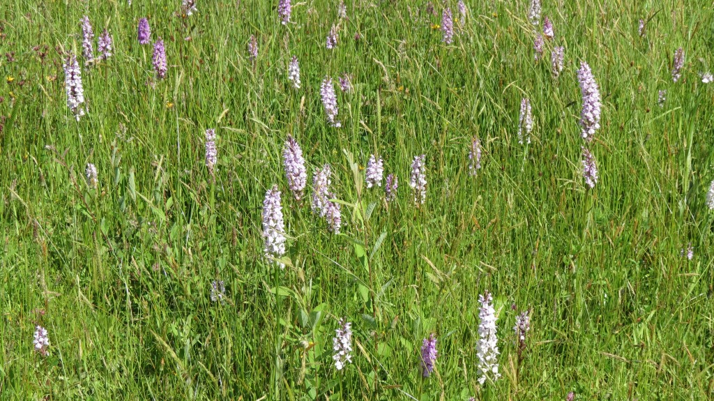 veld vol orchideene
