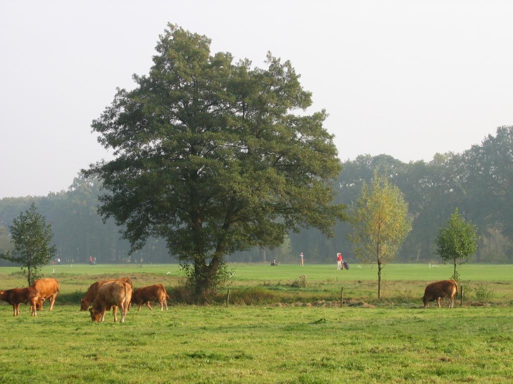 koeien voor hole 16